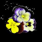 Viola Cornabria Blossoms