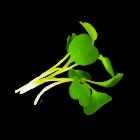 Micro Arugula