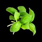 Micro Basil Italian