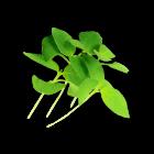 Micro Basil Lemon
