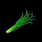 Micro Chive