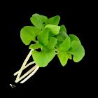 Micro Basil Mint