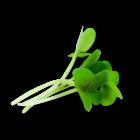Micro Mustard Green