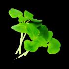 Micro Shiso Green