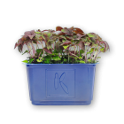 Shiso Purple Cress