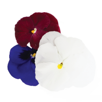 Pansy Holiday Flowers Mix