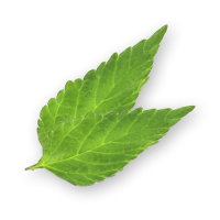 Dulce Leaves