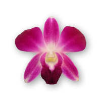 ORCHIDS PURPLE (ORNAMENTAL)