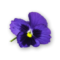 Pansy Flowers Blue Spectrum