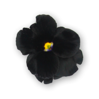 Pansy Flowers Black Spectrum