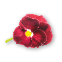 Pansy Flowers Red Spectrum