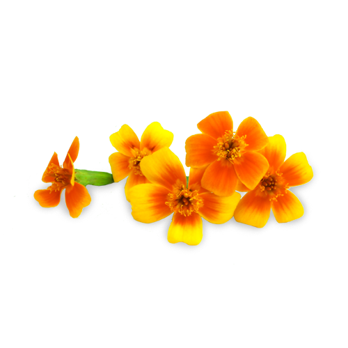 Micro Marigold